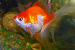 Goldfish dell'acquario. immagine stock