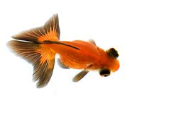 Goldfish dell'occhio del drago Fotografia Stock
