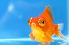 Goldfish dell'occhio del drago con l'azzurro Immagini Stock