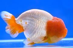 Goldfish della testa del leone di Ranchu Immagine Stock