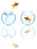 Goldfish, der in Aquarium springt stockbild