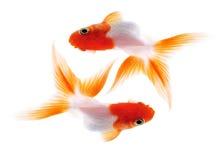 Goldfish deux sur le blanc Image libre de droits