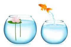 Goldfish di salto Immagine Stock