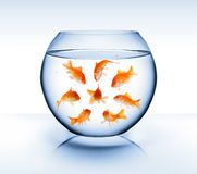 Goldfish - diversity concept, bullying and isolation Stock Photos