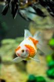 Goldfish do oranda de Pearlscale Fotos de Stock