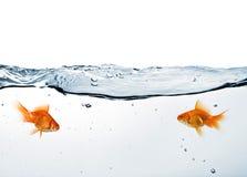 Goldfish dois na água foto de stock