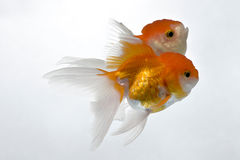 Goldfish 02. The double gold fish isolated on white Stock Photography
