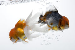 Goldfish 04. The double gold fish isolated on white stock image