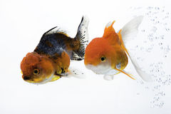 Goldfish 03. The double gold fish isolated on white Royalty Free Stock Images