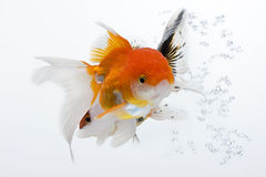 Goldfish 01. The double gold fish isolated on white Stock Photos