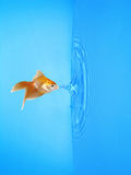 Goldfish Drinking Frozen Water Drop Royalty Free Stock Photo
