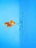Goldfish Drinking Frozen Water Drop