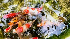 Goldfish eat food from the lake. Goldfish and common carp species are widely raised in Vietnam. They are beautiful, very gluttonous and lovely stock video footage