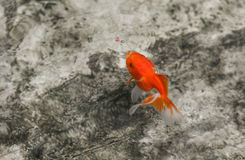 Goldfish eating a fish food Royalty Free Stock Photo