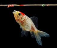 Goldfish eating food Royalty Free Stock Image