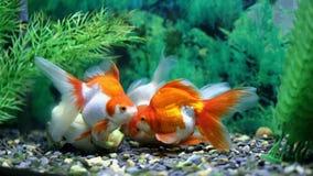 Goldfish in einem Aquarium lizenzfreie stockbilder