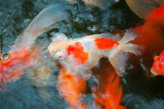 Goldfish emerge from the ripple water. Royalty Free Stock Image