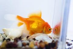 Goldfish en acuario Imagen de archivo libre de regalías