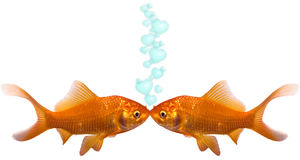 Goldfish en amor Fotografía de archivo libre de regalías