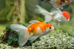 Goldfish en un acuario Imagenes de archivo
