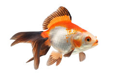 Goldfish en un fondo blanco Foto de archivo libre de regalías