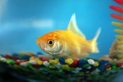 Goldfish en un tazón de fuente Fotografía de archivo