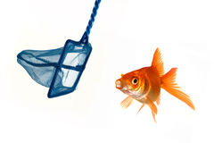 Goldfish escape Royalty Free Stock Images