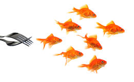 Goldfish escaping from forks. Isolated on white background stock photos