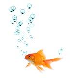 Goldfish et bulles Images stock