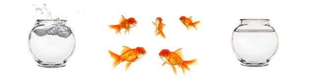 Goldfish et cuvettes d'isolement Photos stock