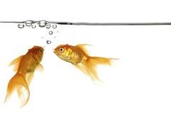 Goldfish et eau Photographie stock