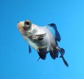 Goldfish extravagante no fundo azul Imagem de Stock Royalty Free