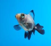 Goldfish extravagante no fundo azul Fotos de Stock Royalty Free