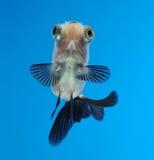 Goldfish extravagante no fundo azul Imagens de Stock Royalty Free
