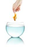 Goldfish fêmea da terra arrendada da mão Foto de Stock Royalty Free
