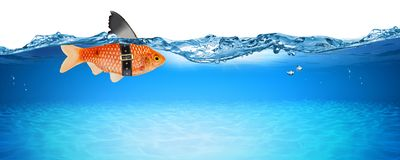 Goldfish with fake shark fin creative business idea innovation concept isolated royalty free stock photography