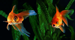Goldfish, a fish on the background of aquatic plants Royalty Free Stock Photos