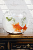 Goldfish in fish tank,close-up Stock Photography