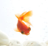 Goldfish in fishbowl Stock Photo