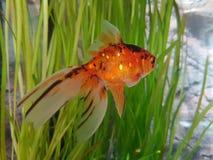 Fancy Goldfish & x27;Ventus& x27;. Goldfish in a fishtank royalty free stock image
