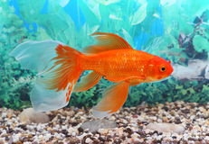 Goldfish. The goldfish floats in an aquarium Stock Images
