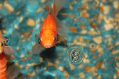 The goldfish floats in an aquarium. Three goldfish in an aquarium facing forward. Goldfish in the blue water Stock Images