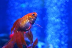 A goldfish floats up against the background of pure water royalty free stock photos