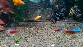 Goldfish in freshwater aquarium. With green beautiful planted tropical stock video footage
