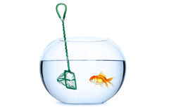 Goldfish in front of a net Stock Photo