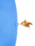 Goldfish and Frozen Water Drop. With ripples around stock photos