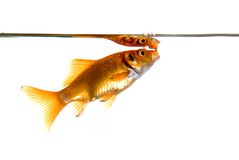 Goldfish gasping for air Royalty Free Stock Images