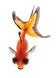 Goldfish getrennt auf Draufsicht des weißen Hintergrundes Stockfoto