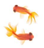 Goldfish getrennt auf weißem Hintergrund Stockfotos