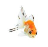 Goldfish getrennt auf weißem Hintergrund Stockfoto